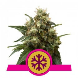 ICE (ROYAL QUEEN SEEDS)...