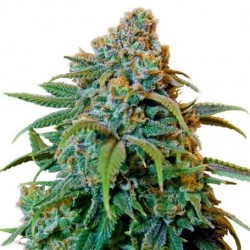 AUTO CRITICAL (SEEDMAKERS)