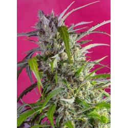 CRYSTAL CANDY AUTO (SWEET...